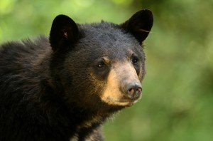 Closeup of a black bear