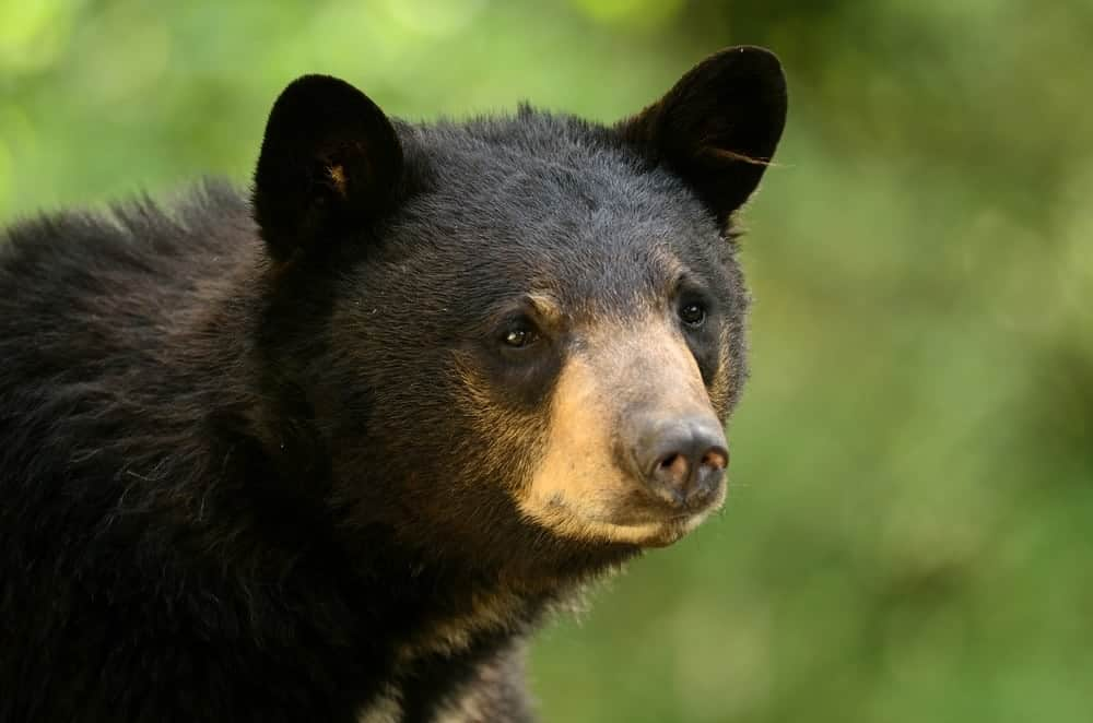 Will I See Black Bears At My Cabin In Murphy Nc