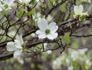 Dogwood flowers you will see at a spring vacation at a Murphy NC cabin