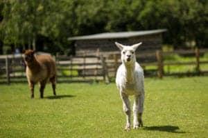 llamas in a field
